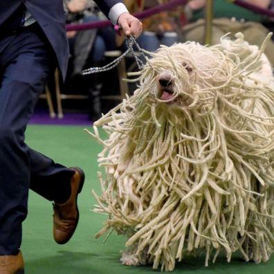 Perro gigante peludo corriendo