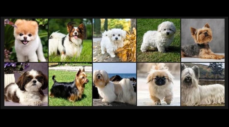 10 perros peludos pequeños