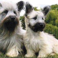 skye-terrier-2