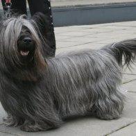 skye-terrier-3