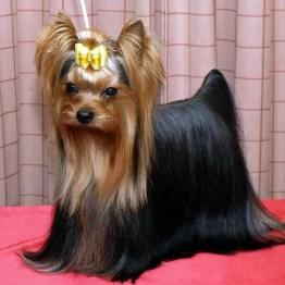 yorkshire-terrier-4