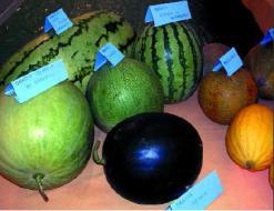 Eigenschaften der Melone