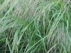Teff ideales Getreide auch bei Zöliakie