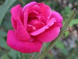Medizinische Eigenschaften von der chinesische Rose in der Traditionelle Chinesischen Medizin