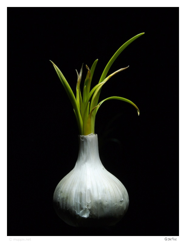 A clove of not-so-fresh garlic which has started to sprout
