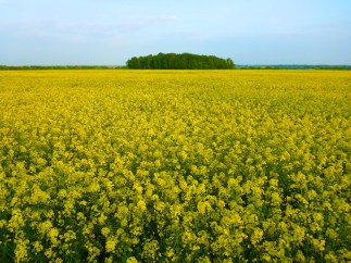 Wide shot of a field of yellow rapeseed in bloom