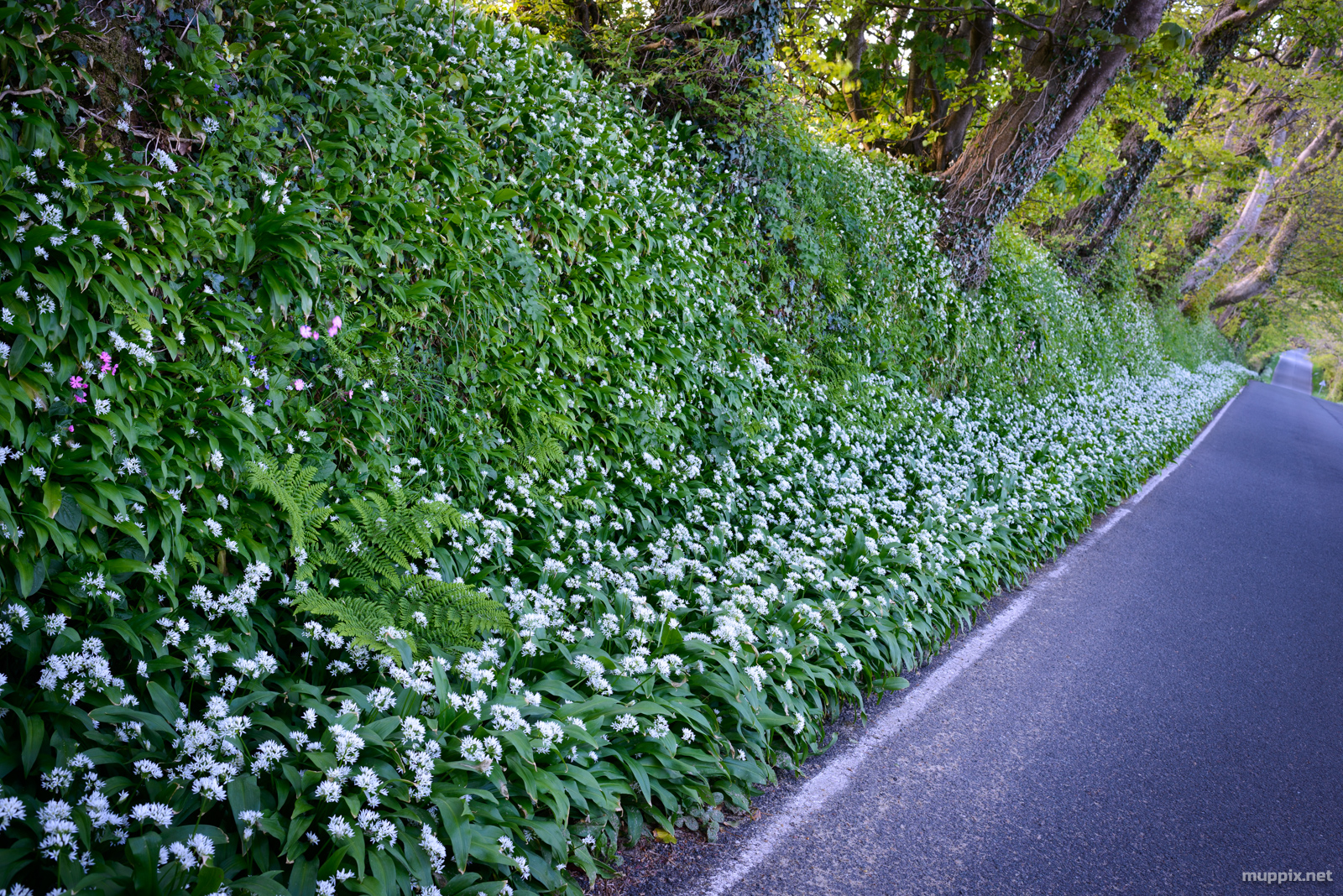 Photo of a country road verge covered in wild garlic