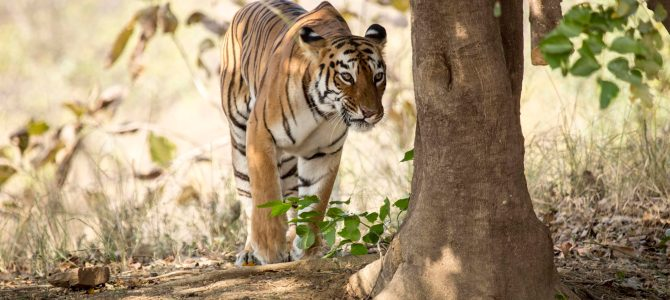 Tadoba – The Land of Tigers
