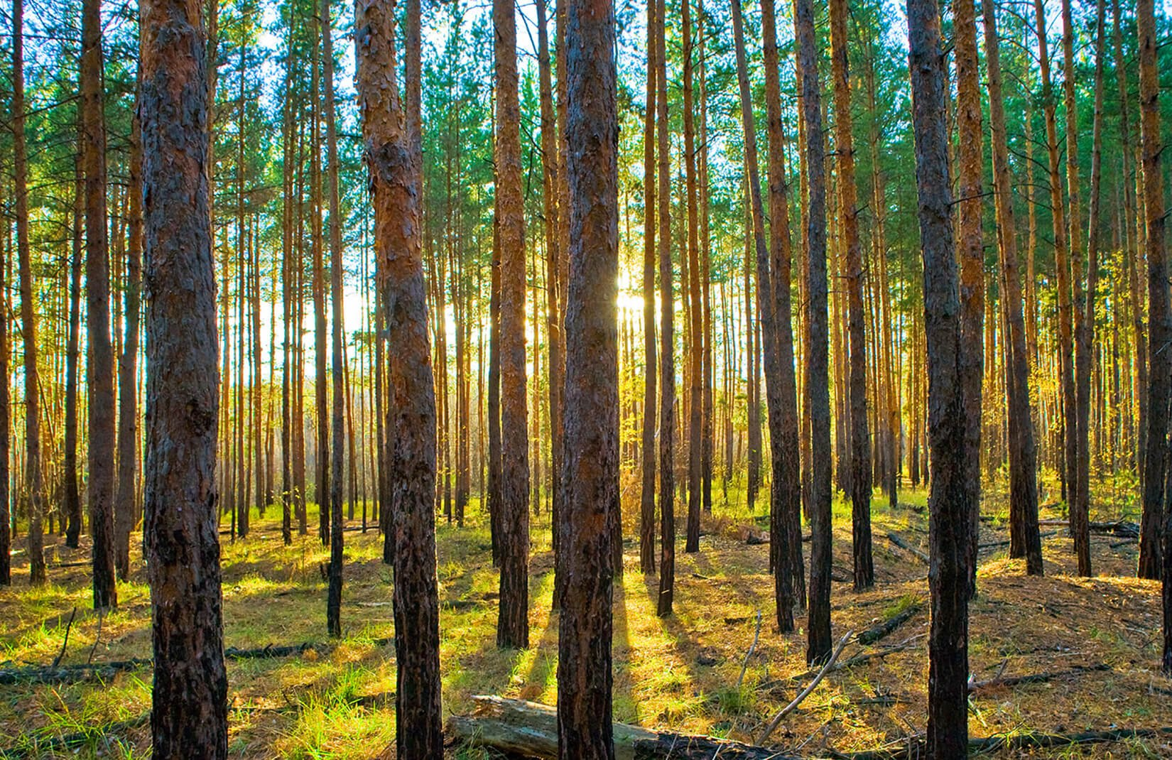 lined trees forest wallpaper