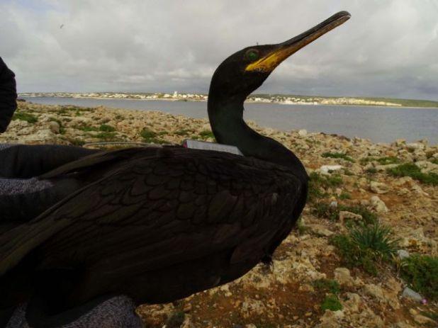 Siguiendo a los cormoranes moñudos para evaluar las áreas marinas protegidas del levante - 5, Foto 5