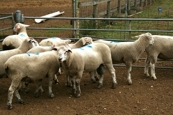 Primera hogget rams at 150 days old selected for joining tomorrow
