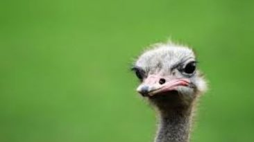 Image symbolising an ostrich business