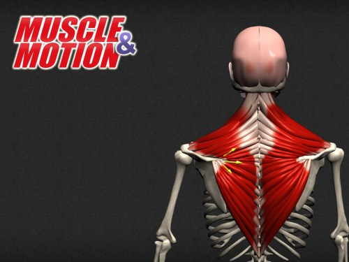 small resolution of understanding the anatomy of human muscles choose the best app for you strength training anatomy posture yoga