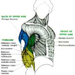 Upper Arm Muscles Diagram 1995 Kawasaki Bayou 220 Wiring Back Of All Data Big Bicep Muscle Digram And Large Tricep Veins
