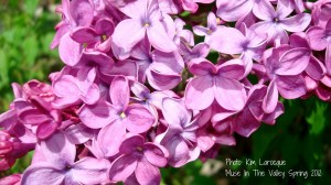 lilac_muse