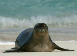 MonkSeal_byTurasPhoto_fixed