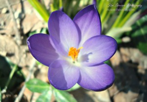 april 2014 crocus