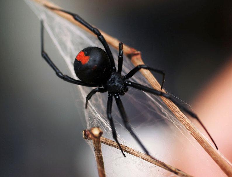 Viúva-negra