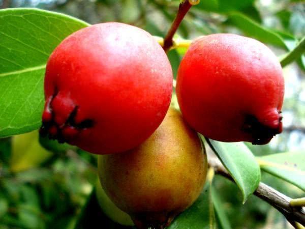 Araçá Fruta