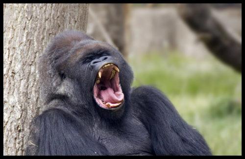 An ape yawning
