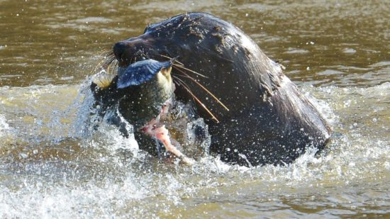 Salvatore, the Yarra Seal, gets a fish.