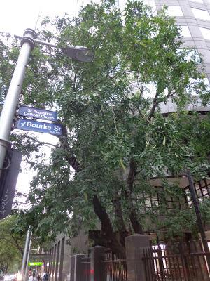 Melbourne's only honey locust tree, present day