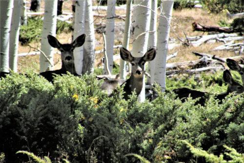 Deer investigate Pando