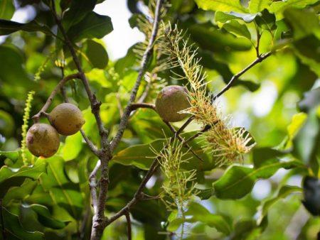 Wild Macadamia Nuts