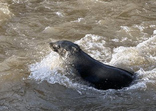 Salvatore, the Yarra Seal