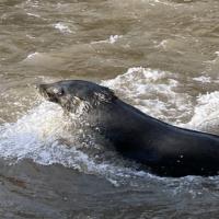 Salvatore: The Yarra Seal
