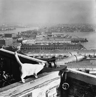 Sydney Harbour Bridge cats