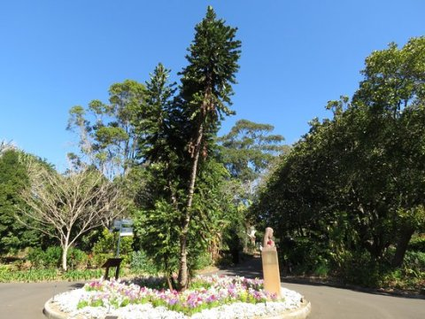 The Wollemi Pine in the Royal Botanical Gardens, Sydney