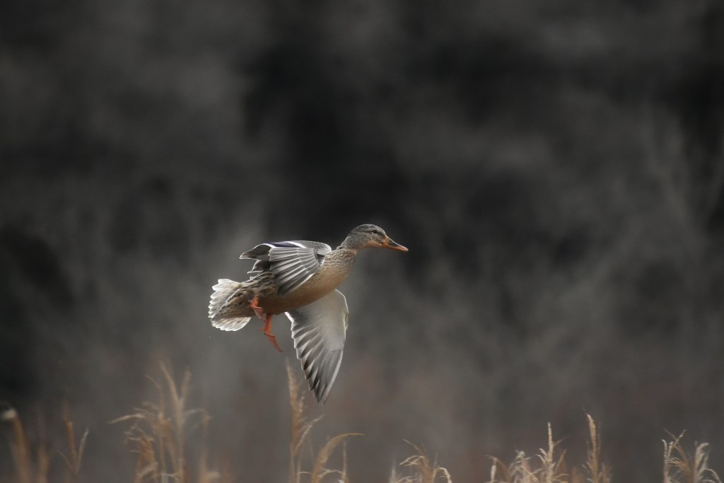 A duck taking flight