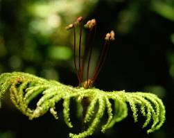 Hypopterygium arbuscula