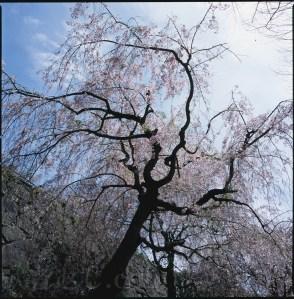 福岡城の枝垂れ櫻