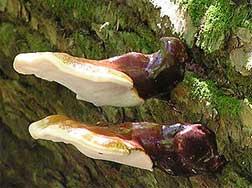 reishi mushroom identification hunt
