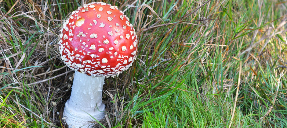 Fairytale Fungus The Fly Agaric The Mushroom Diary Uk Wild