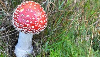 The notorious Magic Mushroom – The Mushroom Diary – UK Wild