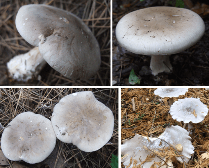 Clouded Agaric pictures