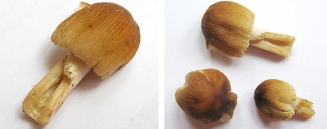 Coprinus micaceus