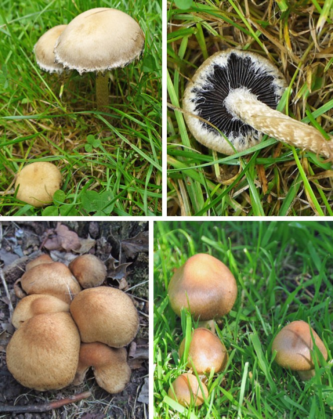 Weeping Widow Garden Mushroom