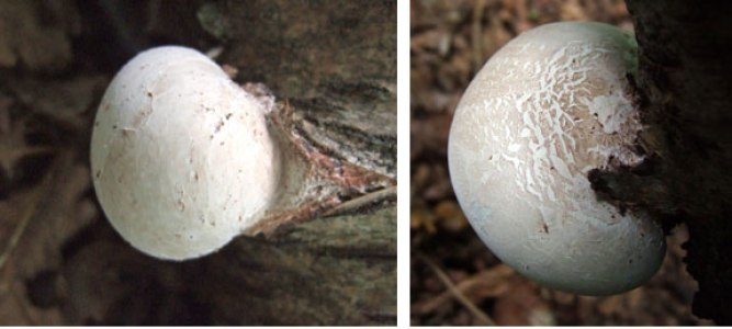 Polypore fungus