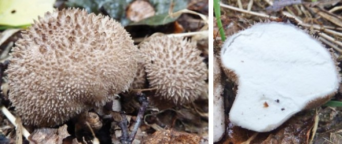Round spiny puffballs