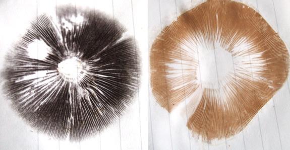 Taking a mushroom spore print for mushroom identification