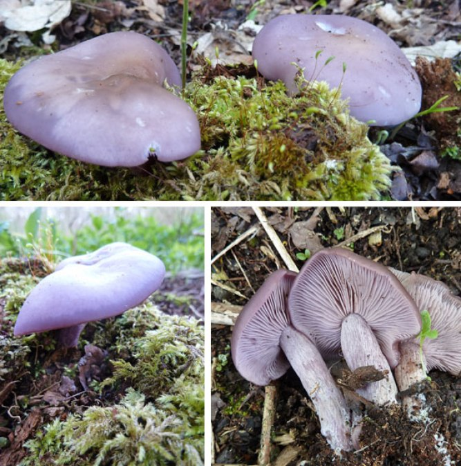Wood Blewits