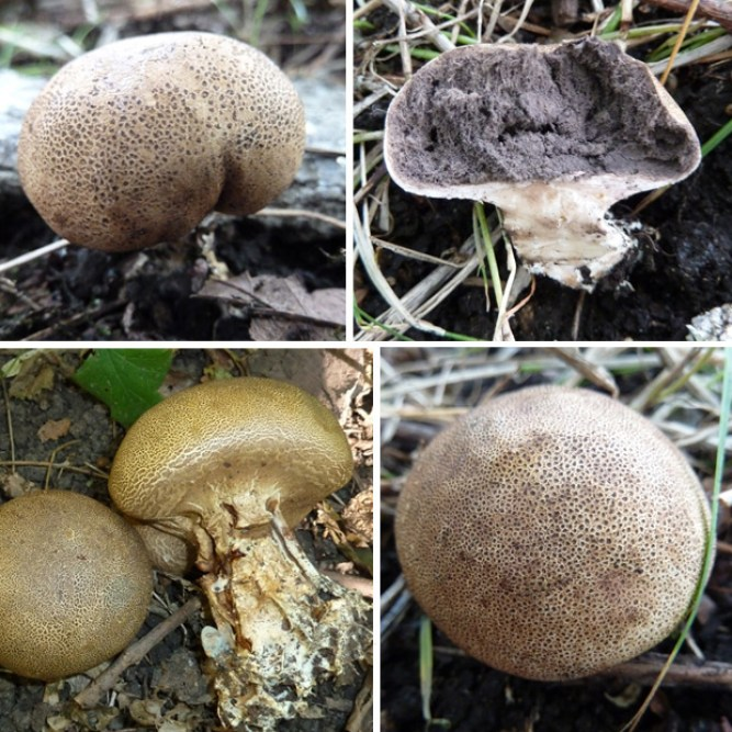 Scaly Earthball Pictures