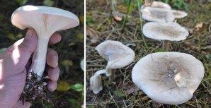Clitocybe nebularis Mushroom