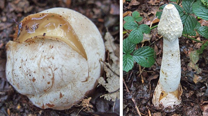 Phallus impudictus - Witches Egg - Stinkhorn Fungus
