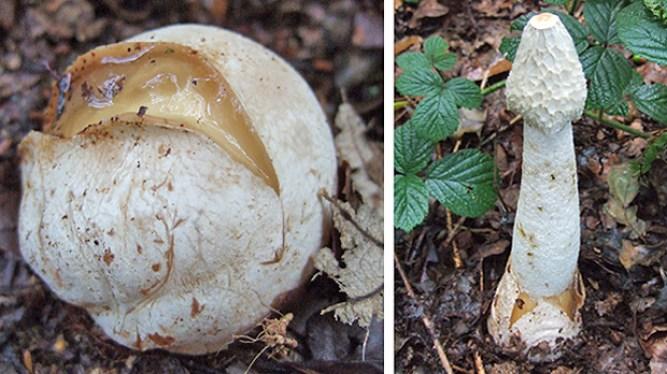 Phallus impudictus - Witches Egg - Stinkhorn Fungus