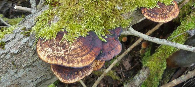 Blushing Bracket Fungus